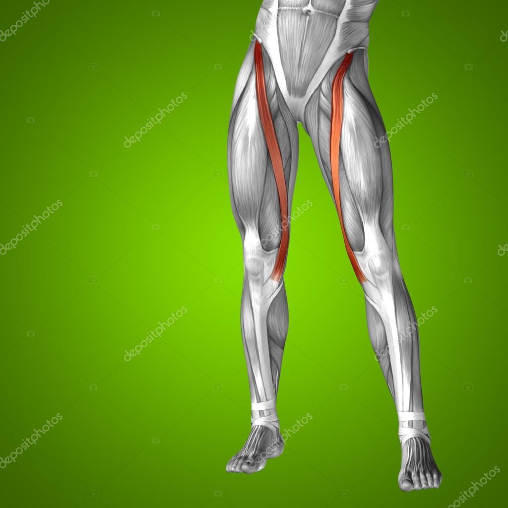 Oberschenkel-Anatomie — Stockfoto © design36 #77442506