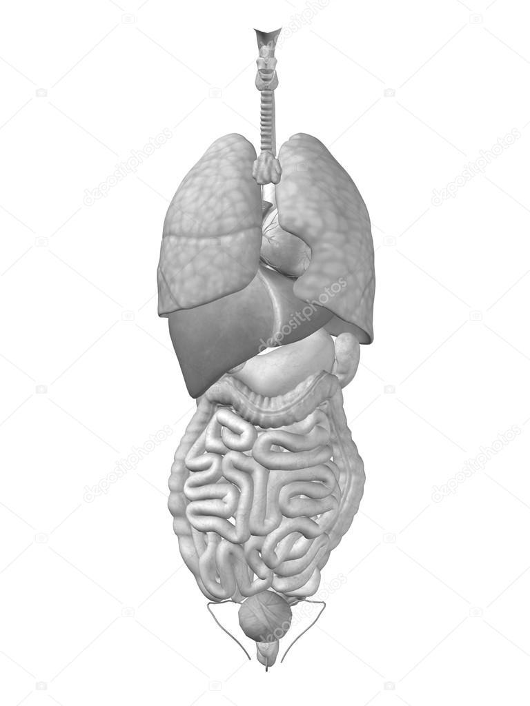 Thorax Organs For Anatomy Designs Stock Photo Design36 81083664