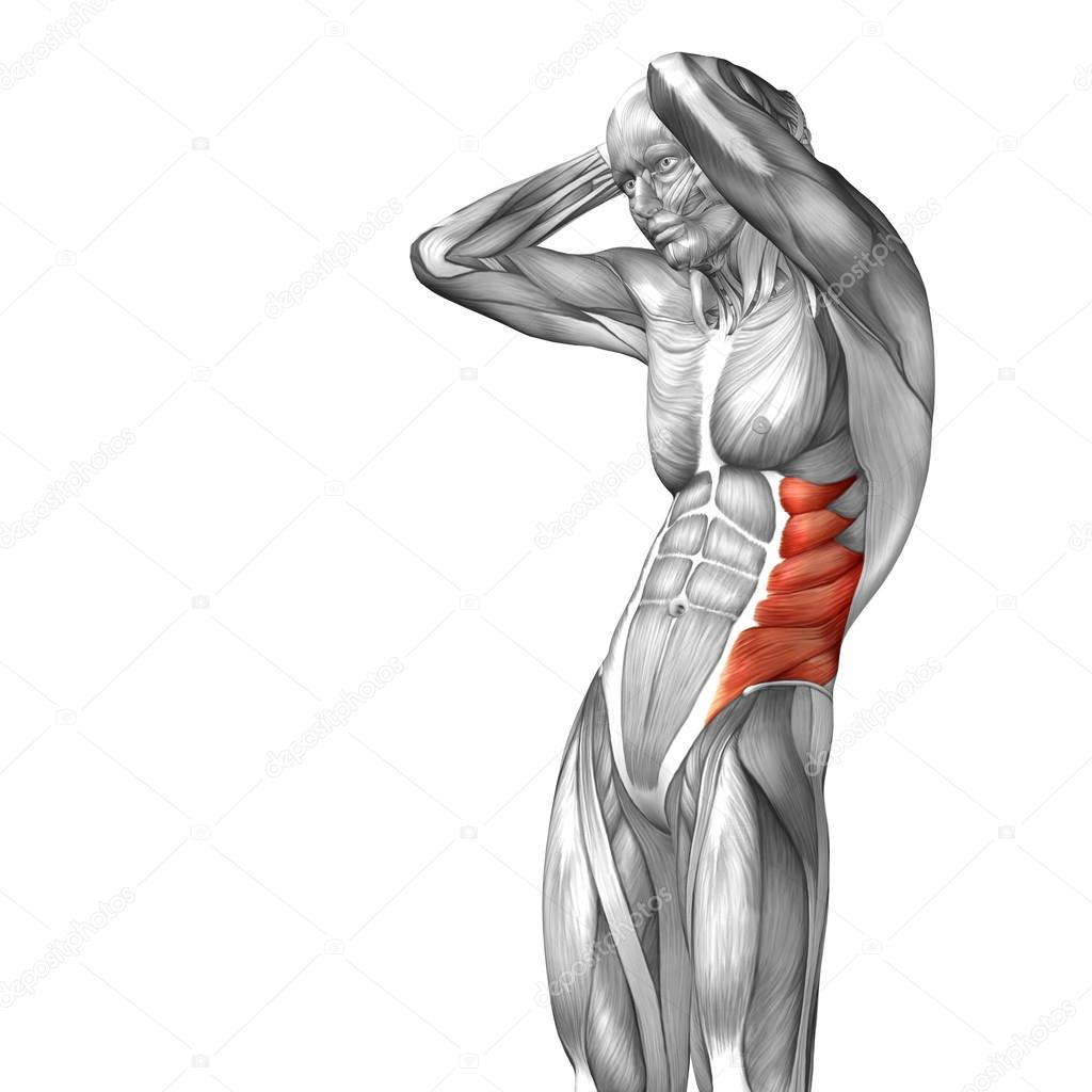 abdomen o tórax anatomía humana — Fotos de Stock © design36 #82545572