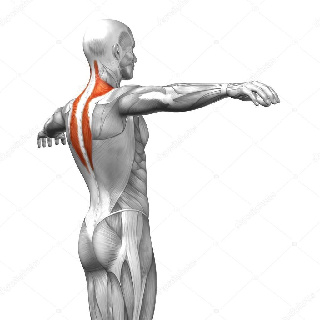 Trapezius or back human anatomy — Stock Photo © design36 #82545730