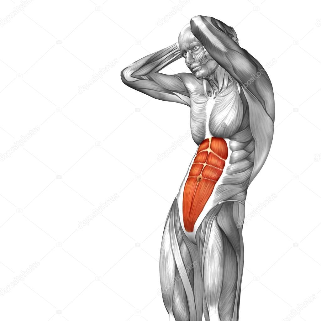 abdomen or chest human anatomy — Stock Photo © design36 #82546122