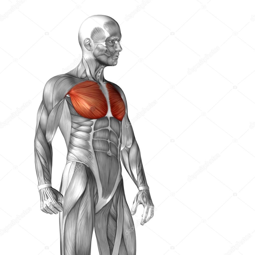Anatomía del músculo pectoral o pecho — Foto de stock © design36 ...