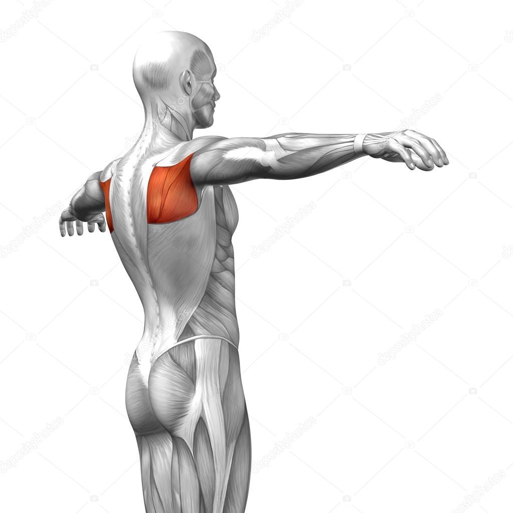Teres Major or back human anatomy — Stock Photo © design36 #82546264
