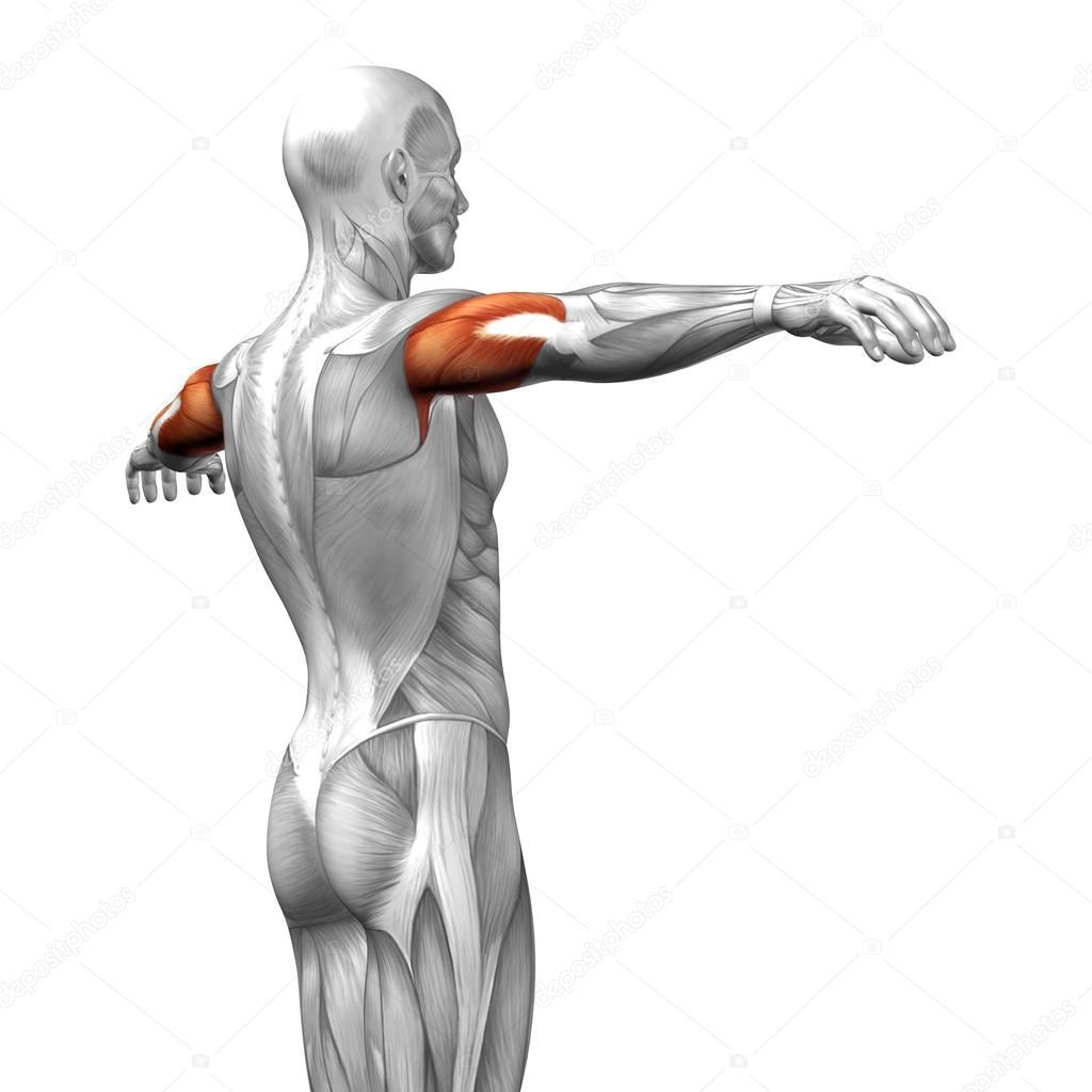 Trizeps menschliche Anatomie — Stockfoto © design36 #82546716