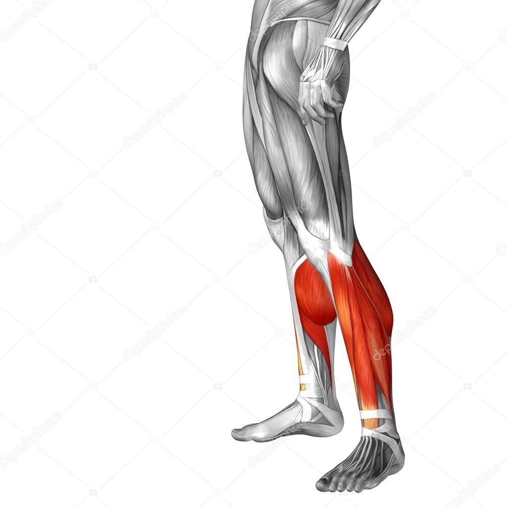 untere Bein Anatomie — Stockfoto © design36 #83355292