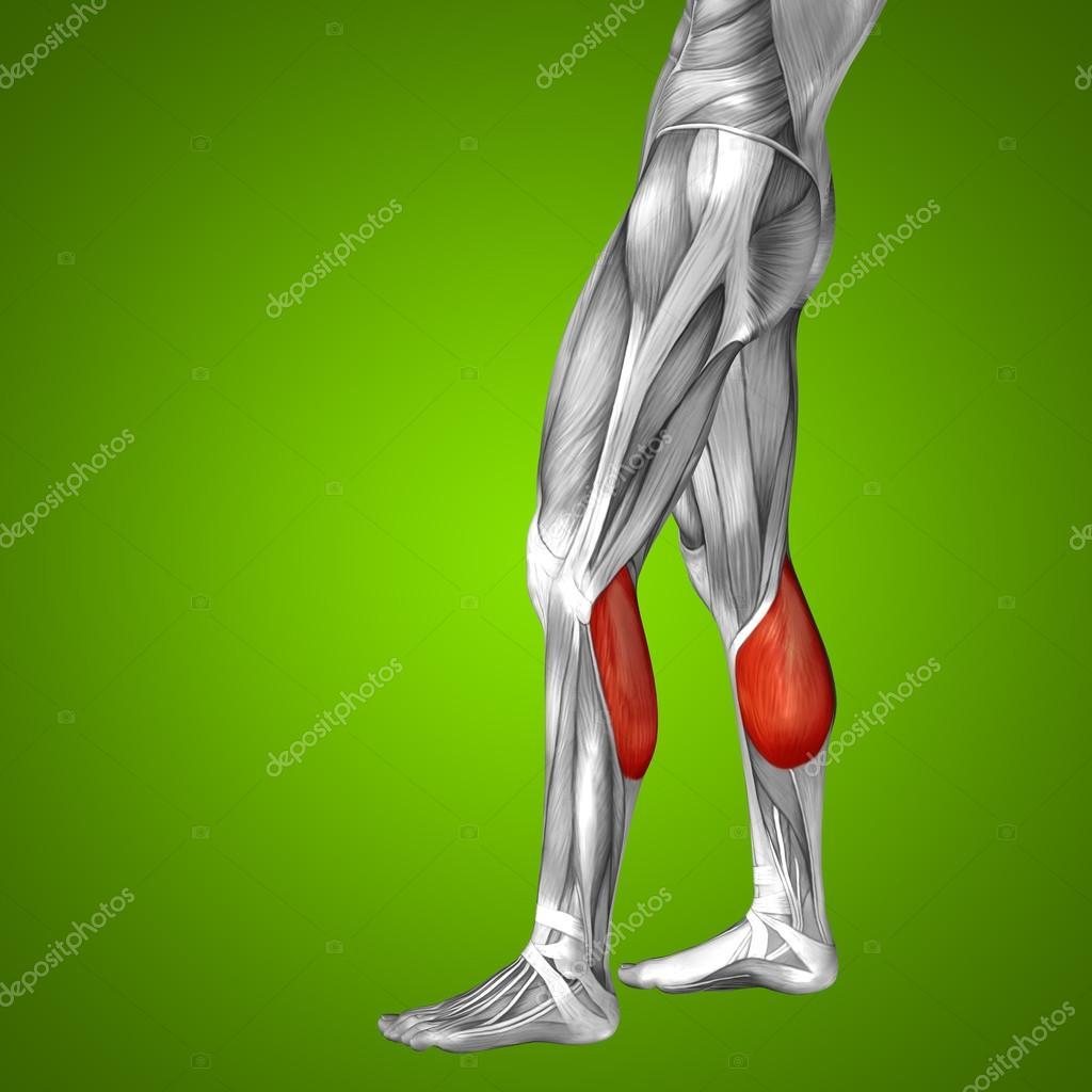 Wadenmuskel unteren Bein Anatomie des Menschen — Stockfoto ...