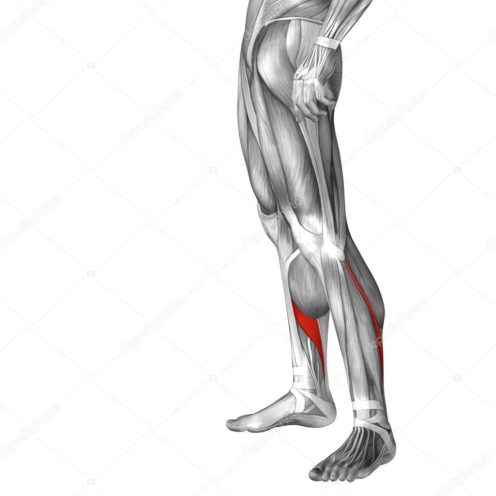 Anatomía de la pierna inferior — Fotos de Stock © design36 #83355964