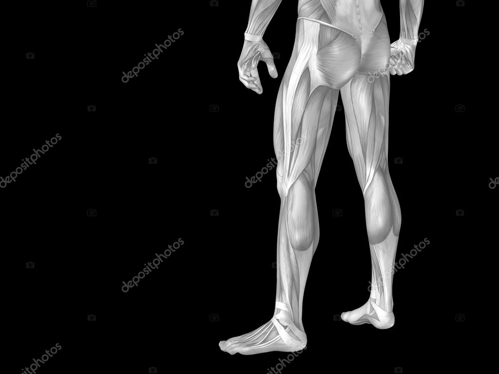 anatomy lower body with muscles — Stock Photo © design36 #84378436