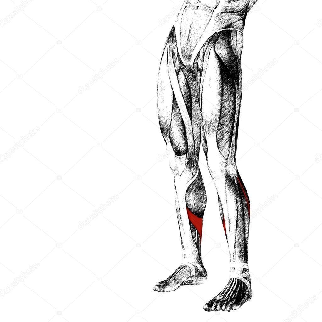 lower leg anatomy — Stock Photo © design36 #84378752