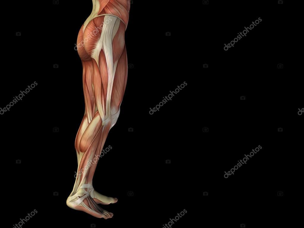 cuerpo inferior de anatomía con los músculos — Foto de stock ...