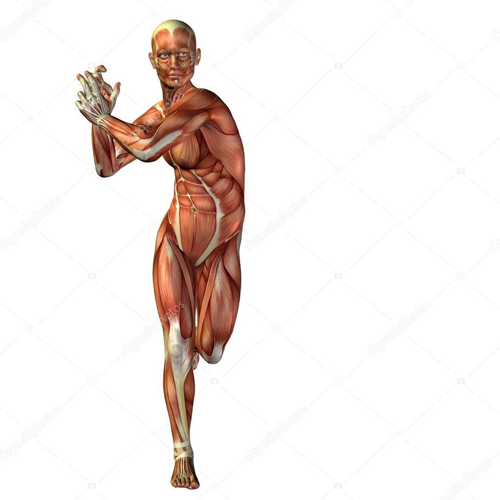 hombre con músculos para diseños de anatomía — Foto de stock ...