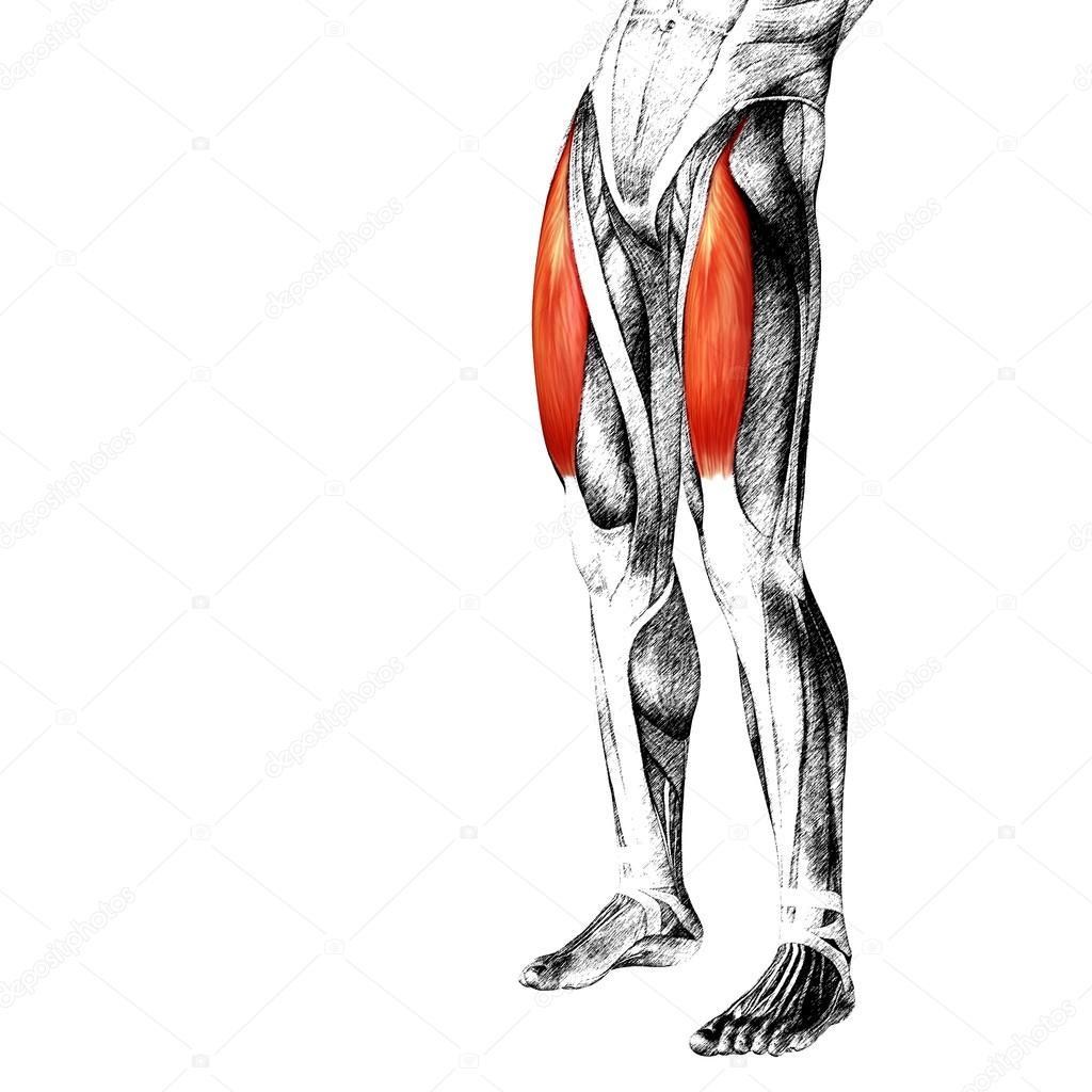 Oberschenkel-Anatomie — Stockfoto © design36 #84379824