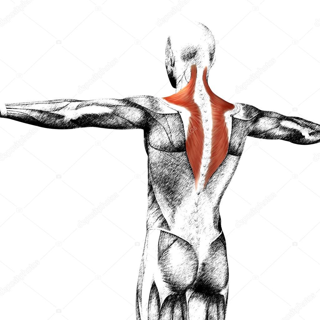 Konzept oder konzeptionelle 3d zurück menschliche Anatomie oder ...