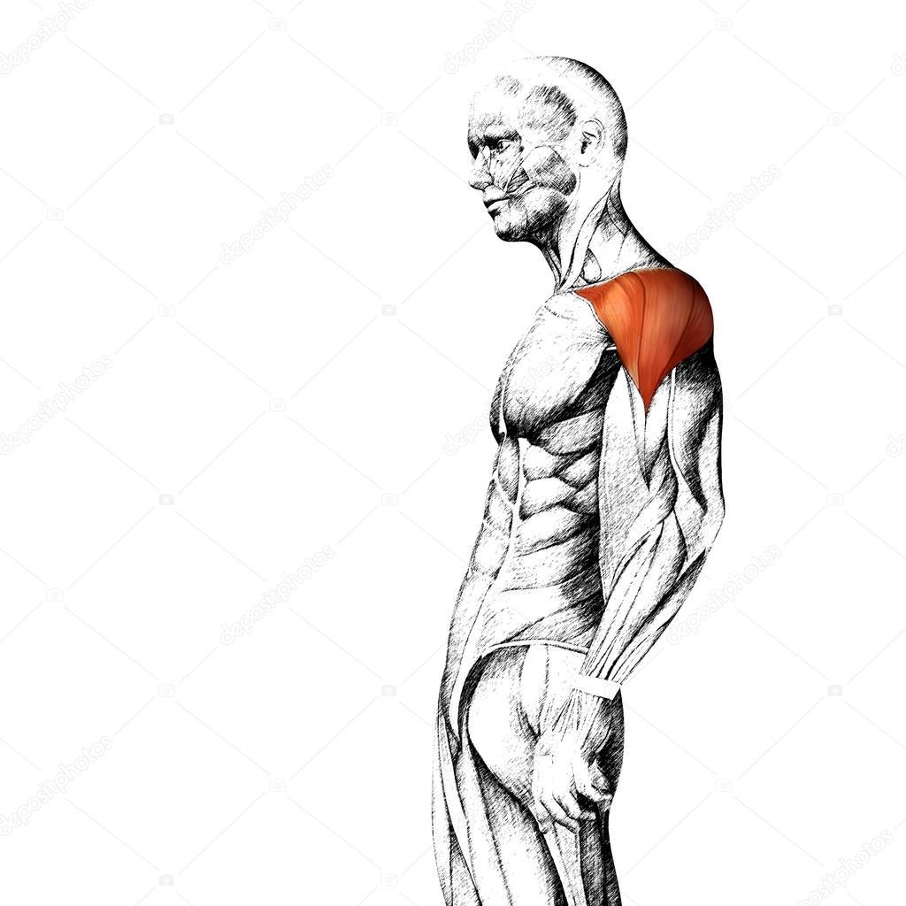 Menschliche Anatomie der Brust — Stockfoto © design36 #84380362