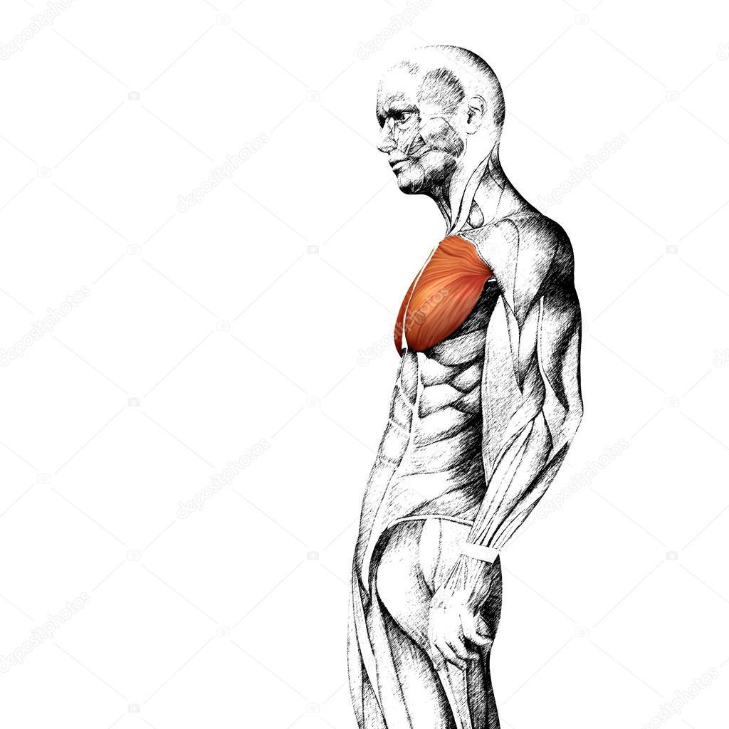 anatomischen und Muskel Skizze — Stockfoto © design36 #84381440