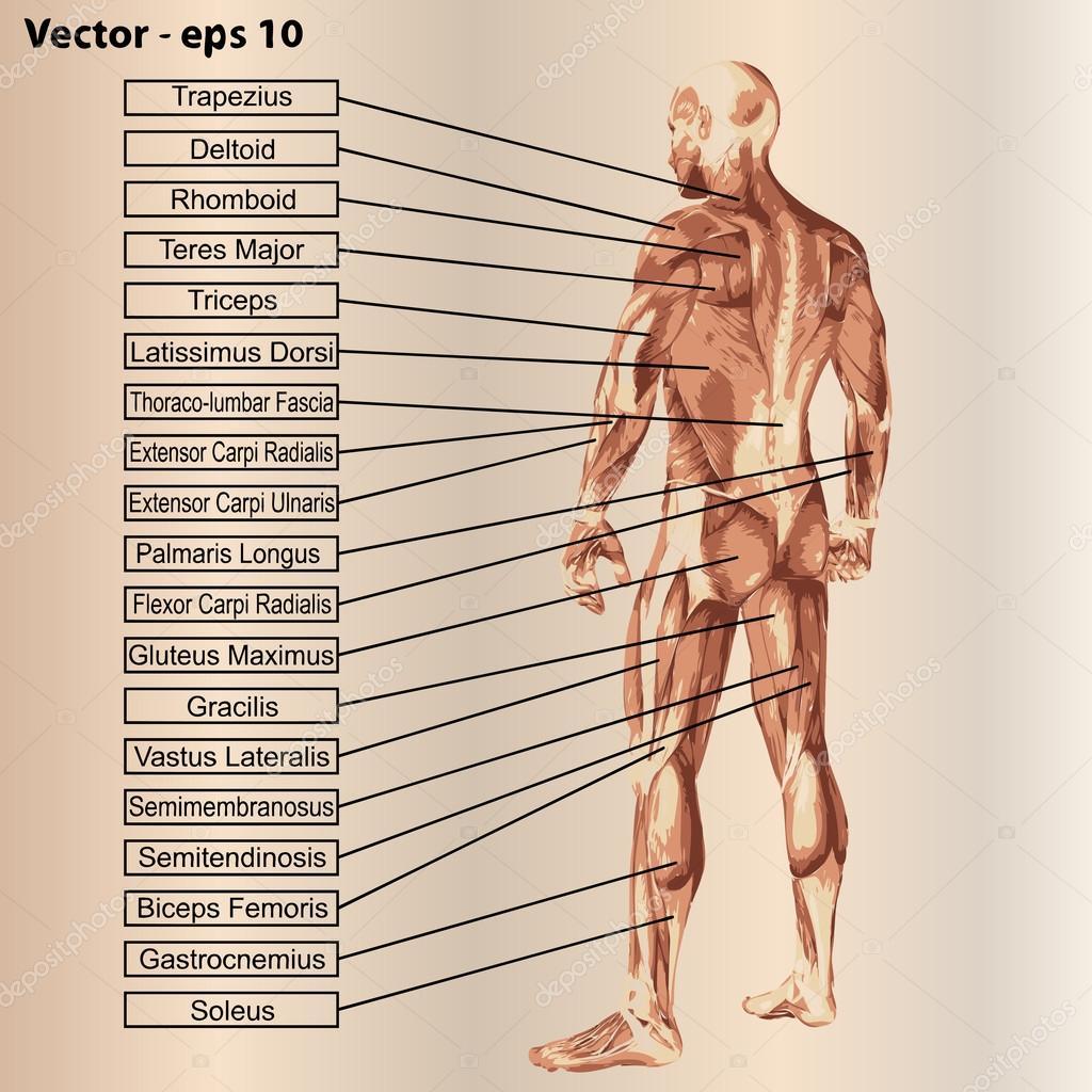 Anatomía con músculos y texto — Vector de stock © design36 #84380026