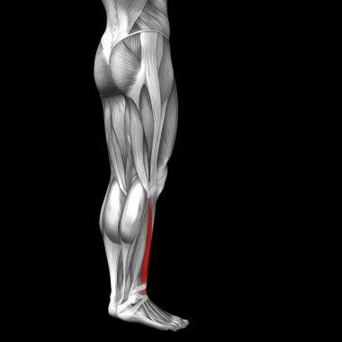 lower legs anatomy