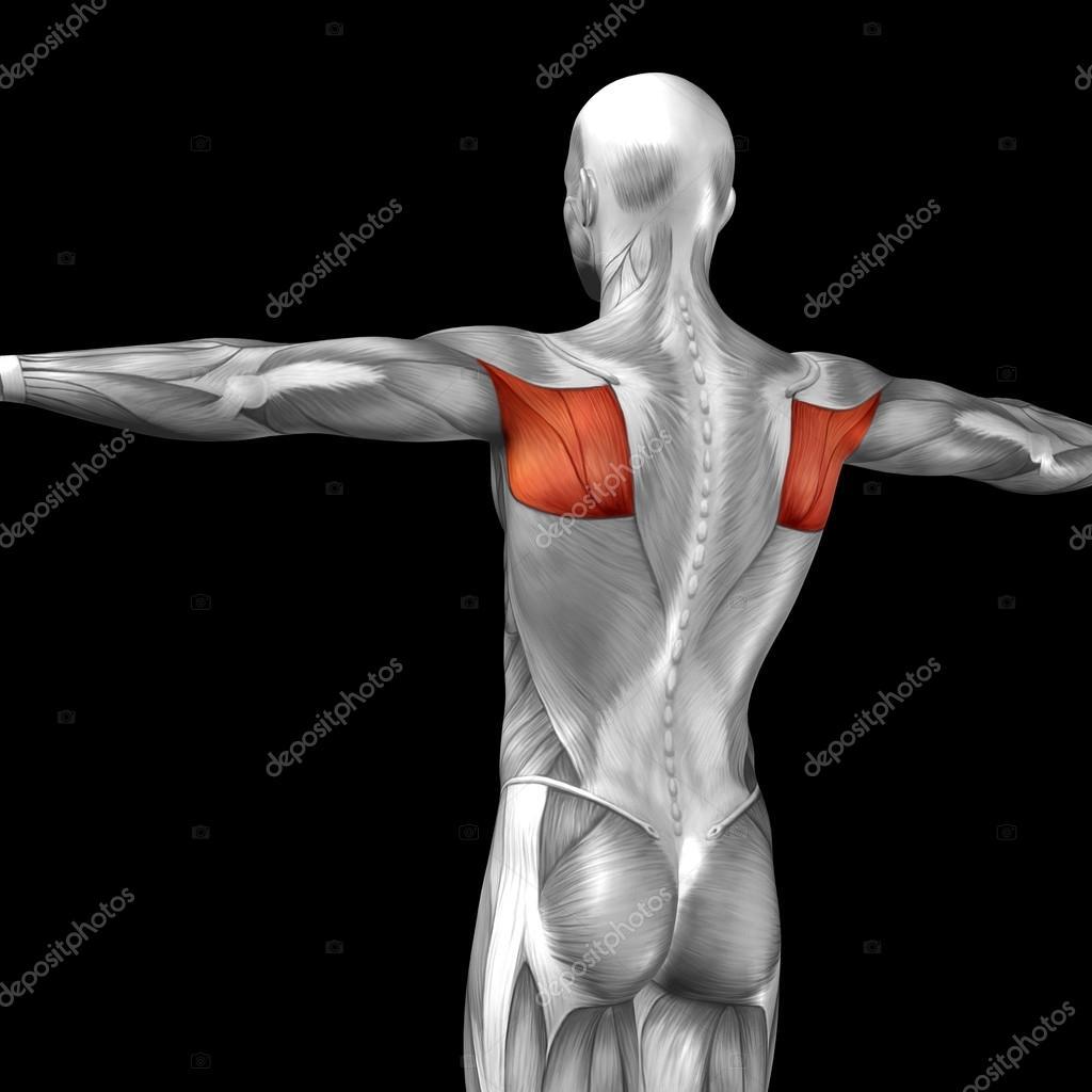 Wieder menschliche Anatomie — Stockfoto © design36 #85995534