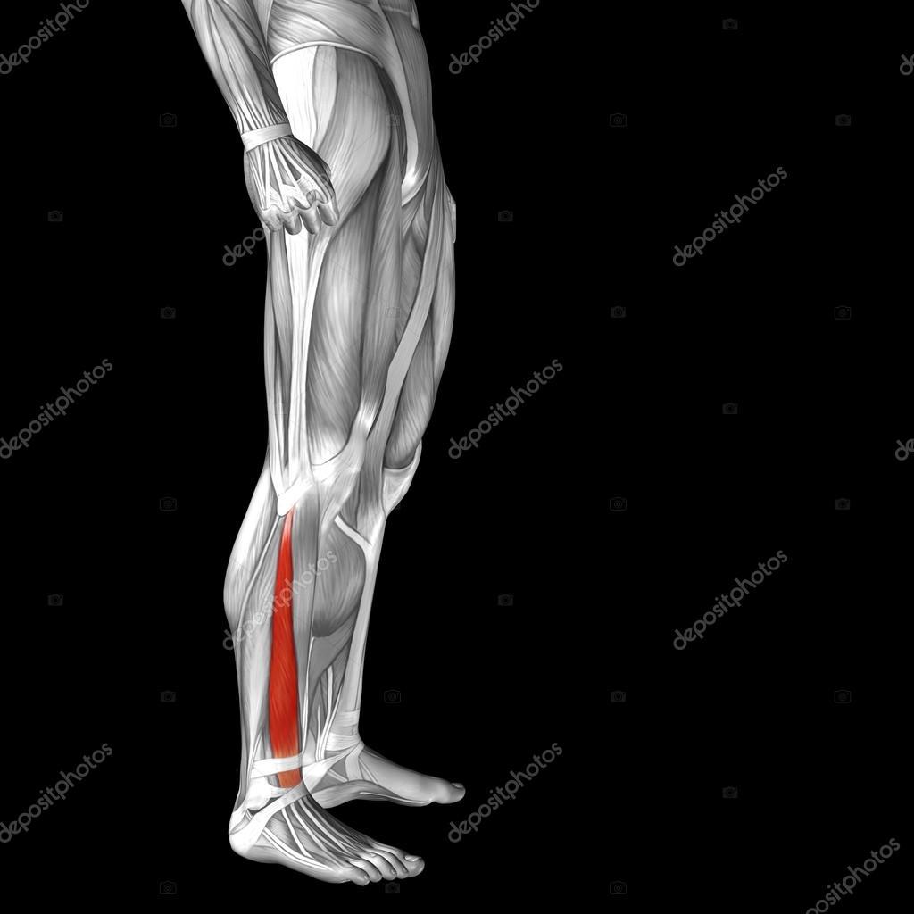 Musculus Adductor Longus menschlichen Unterschenkel — Stockfoto ...