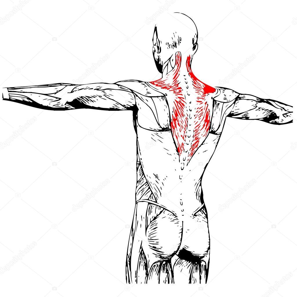 Wieder menschliche Anatomie — Stockfoto © design36 #85996478