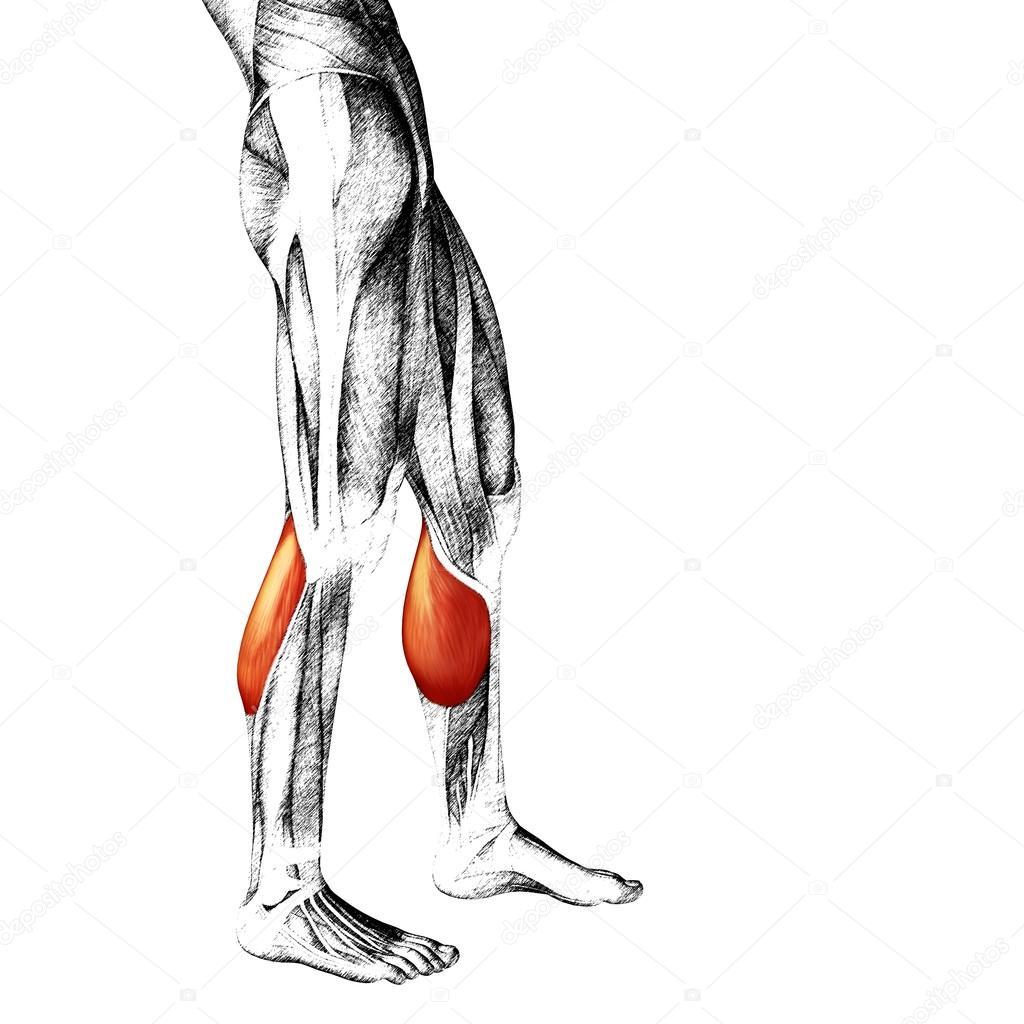 unteren Beine Anatomie — Stockfoto © design36 #85996600