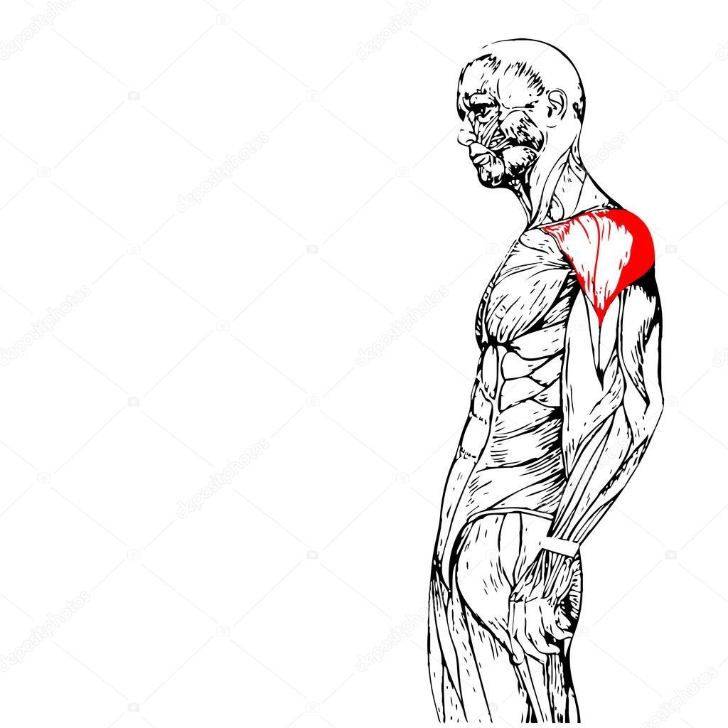 anatomía humana o anatómicos y los músculos — Fotos de Stock ...