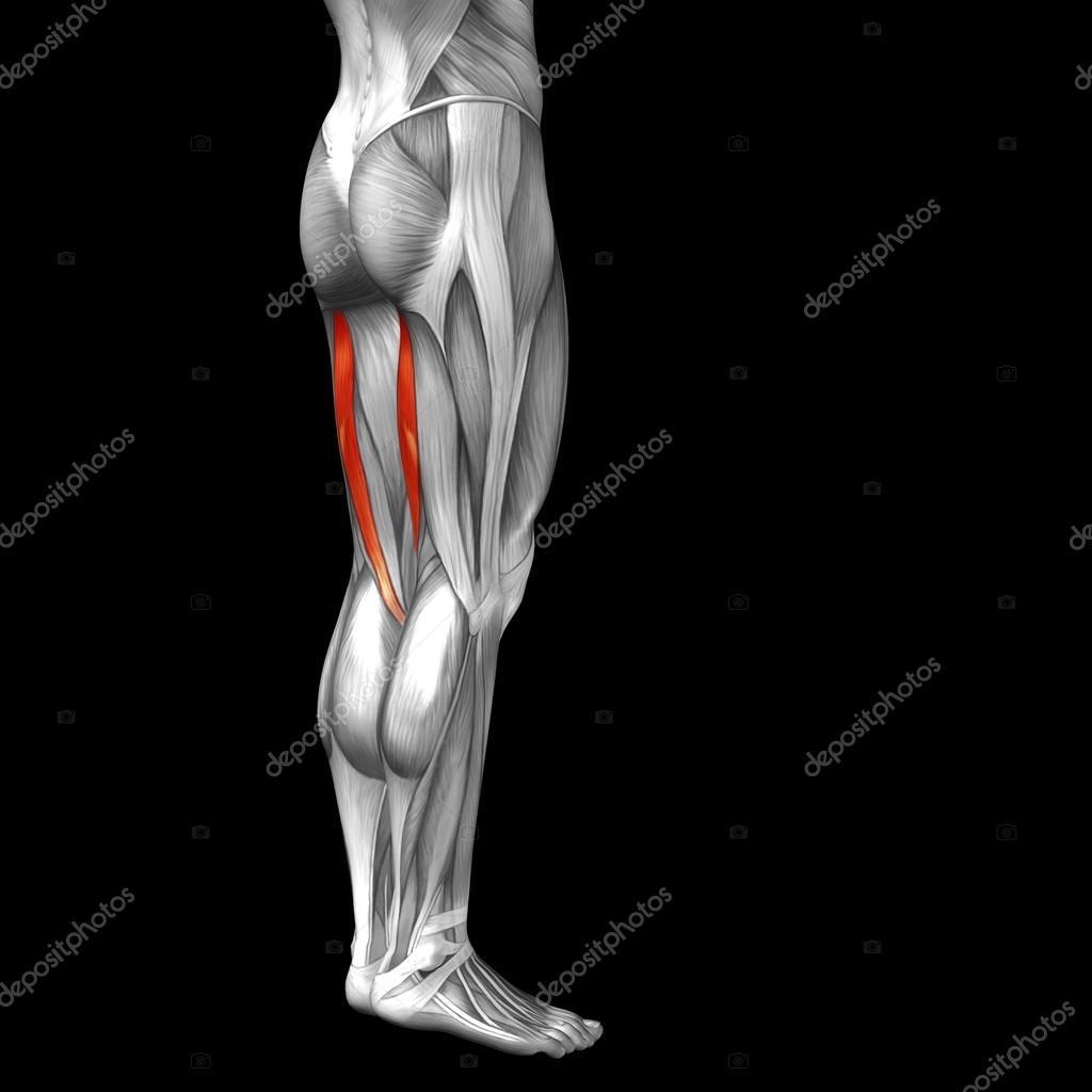 Anatomía de la pierna superior humana gastrocnemio — Foto de stock ...