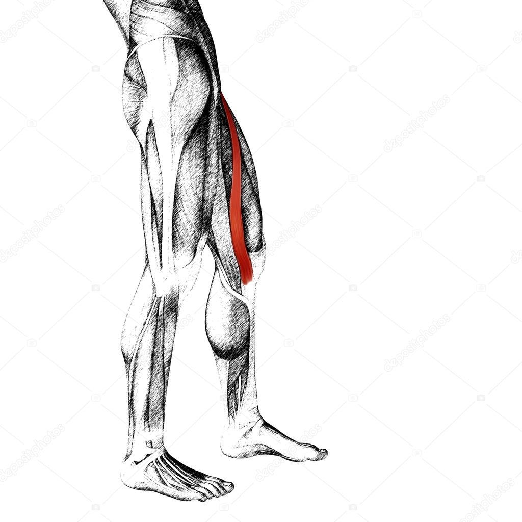 anatomía humana piernas superiores — Foto de stock © design36 #85998908