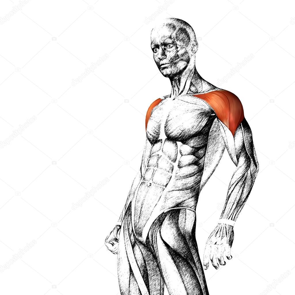 Menschliche Anatomie der Brust — Stockfoto © design36 #85999206