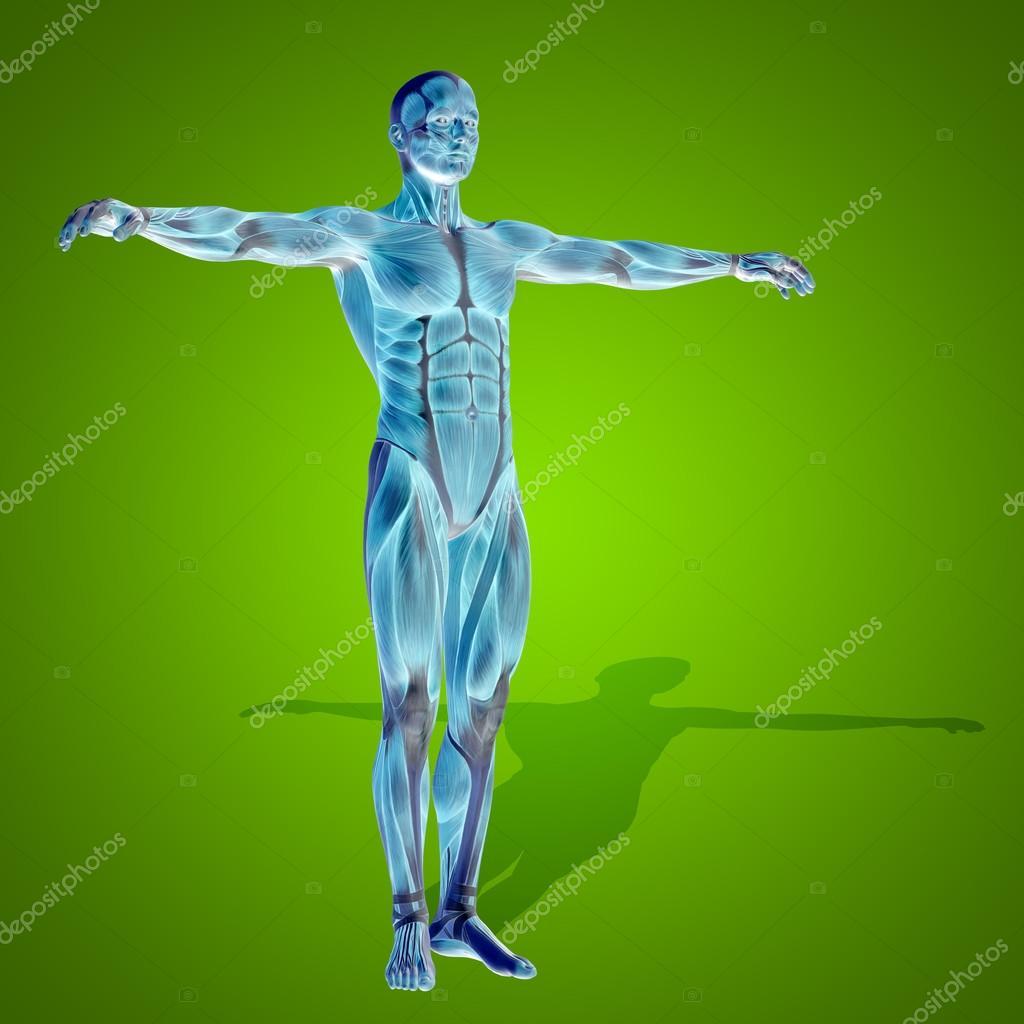 Anatomie Körper mit Muskeln — Stockfoto © design36 #86000778