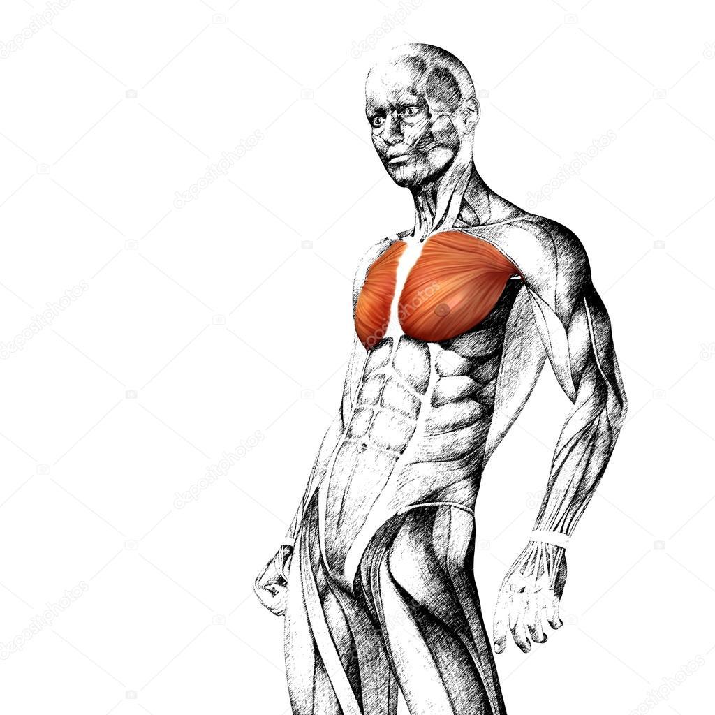 Anatomía del pecho — Fotos de Stock © design36 #86001290