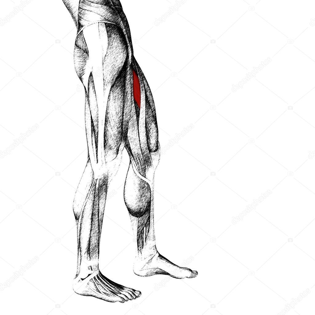 Oberschenkel-Anatomie oder anatomischen — Stockfoto © design36 #86002550