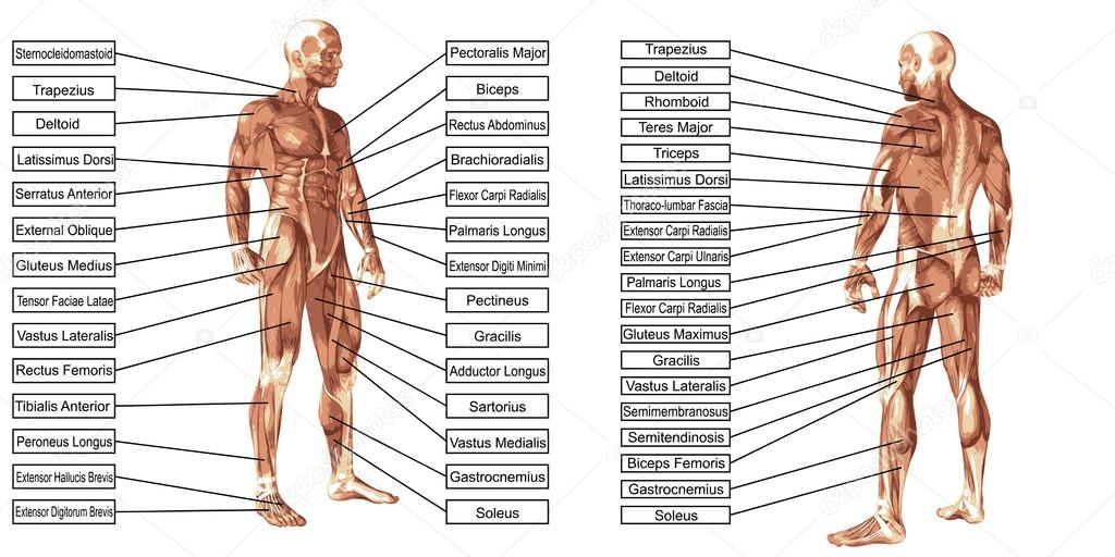 man anatomy and muscles text — Stock Photo © design36 #86002592