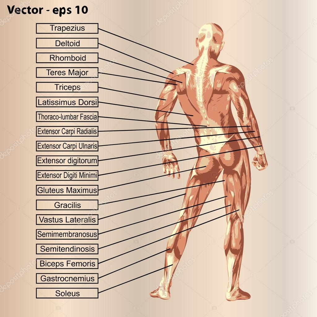 Anatomie mit Muskeln und text — Stockvektor © design36 #86001354