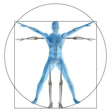 proportion anatomy body