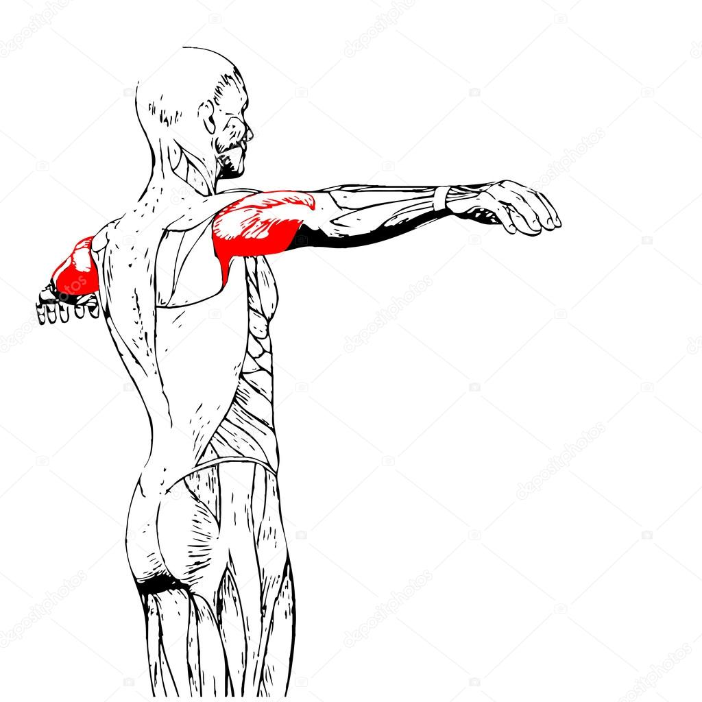 Trizeps-Anatomie des Menschen-o — Stockfoto © design36 #88926362