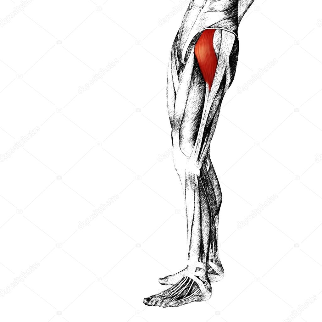 adductor longus menschlichen Oberschenkel Anatomie — Stockfoto ...