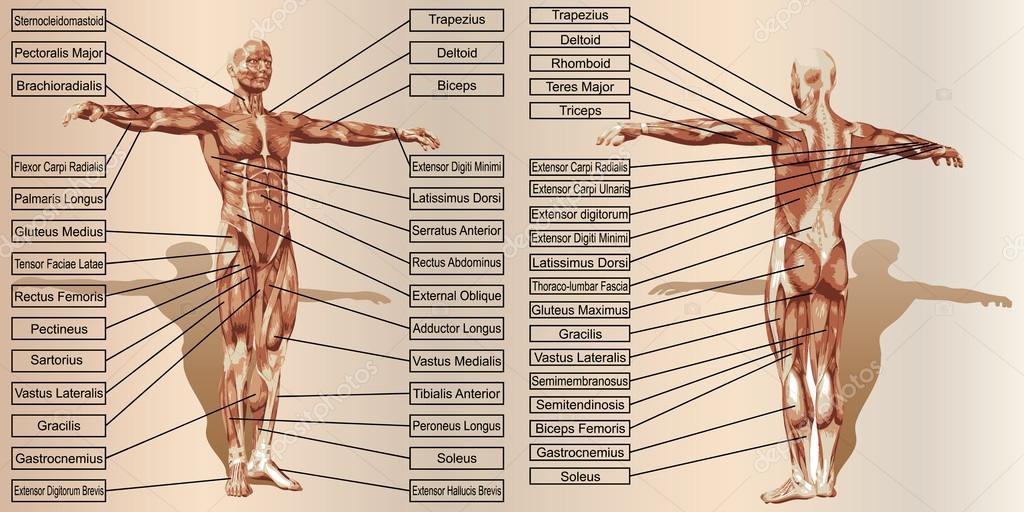 anatomía humana hombre — Foto de stock © design36 #88927616