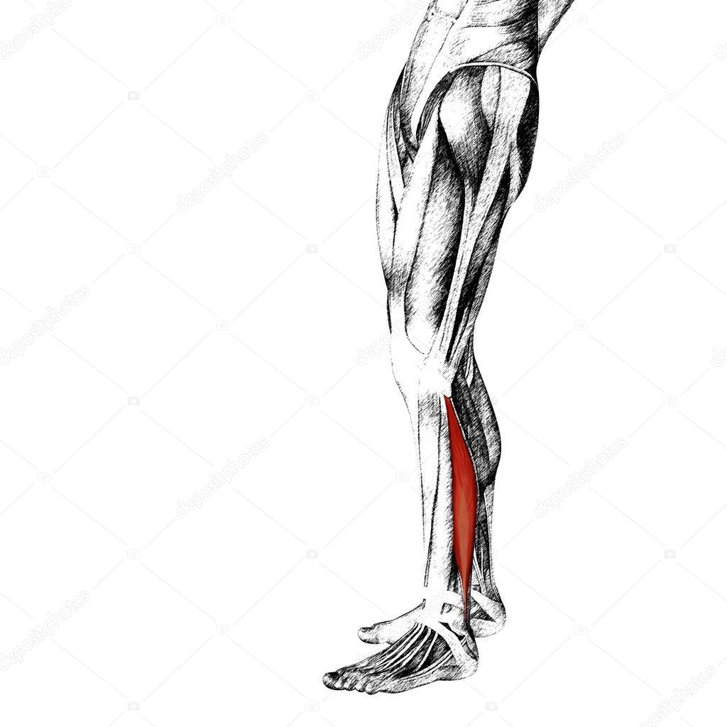 longus menschlichen Unterschenkel Anatomie — Stockfoto © design36 ...