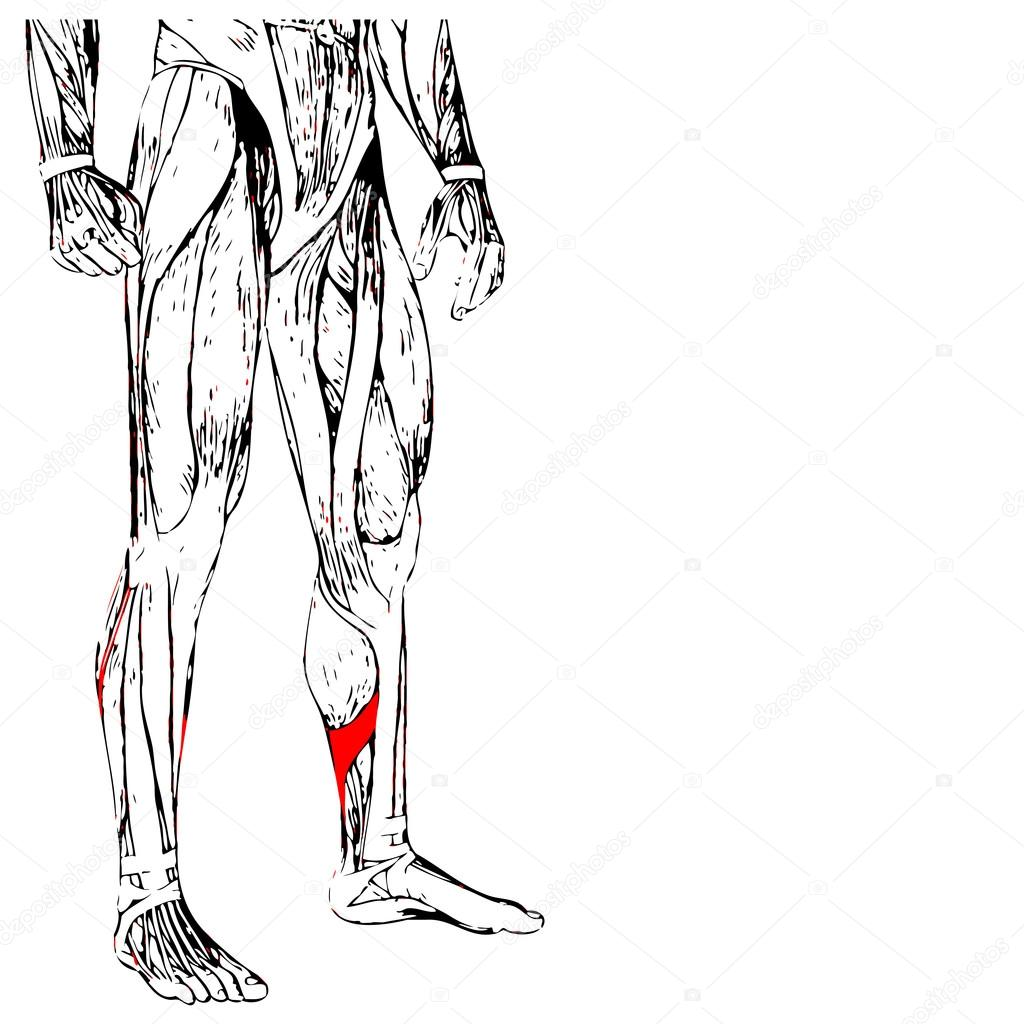human lower legs anatomy — Stock Photo © design36 #88927918