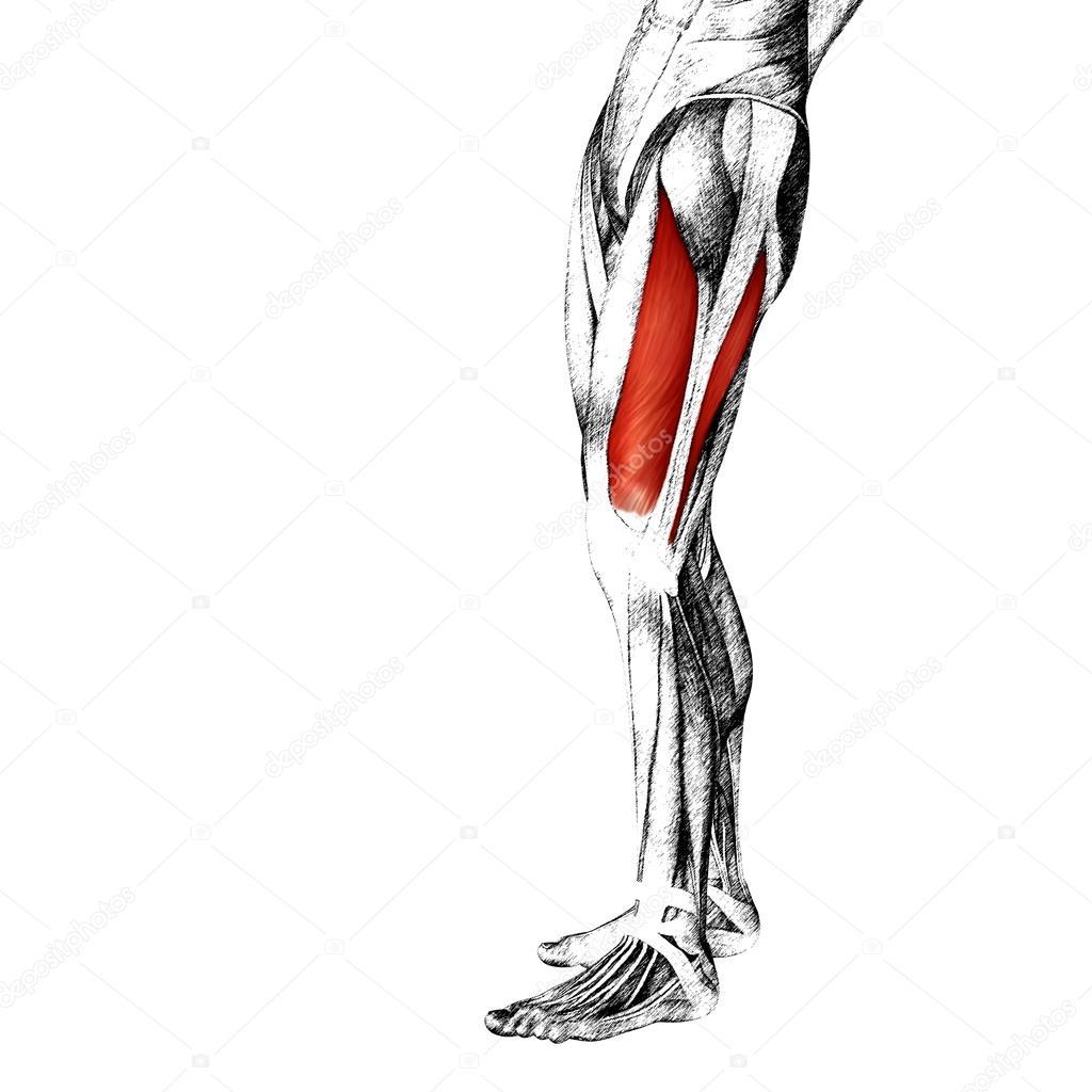 menschliche Oberschenkel-Anatomie — Stockfoto © design36 #88927990