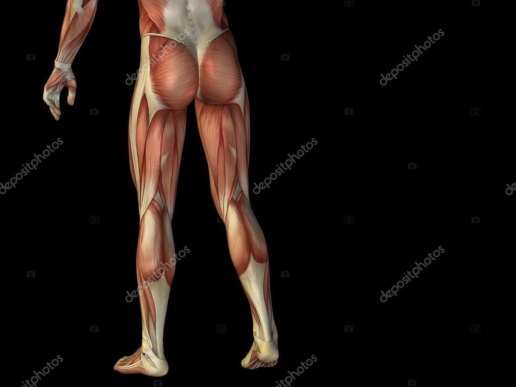 Anatomie-Unterkörper mit Muskeln — Stockfoto © design36 #88928694