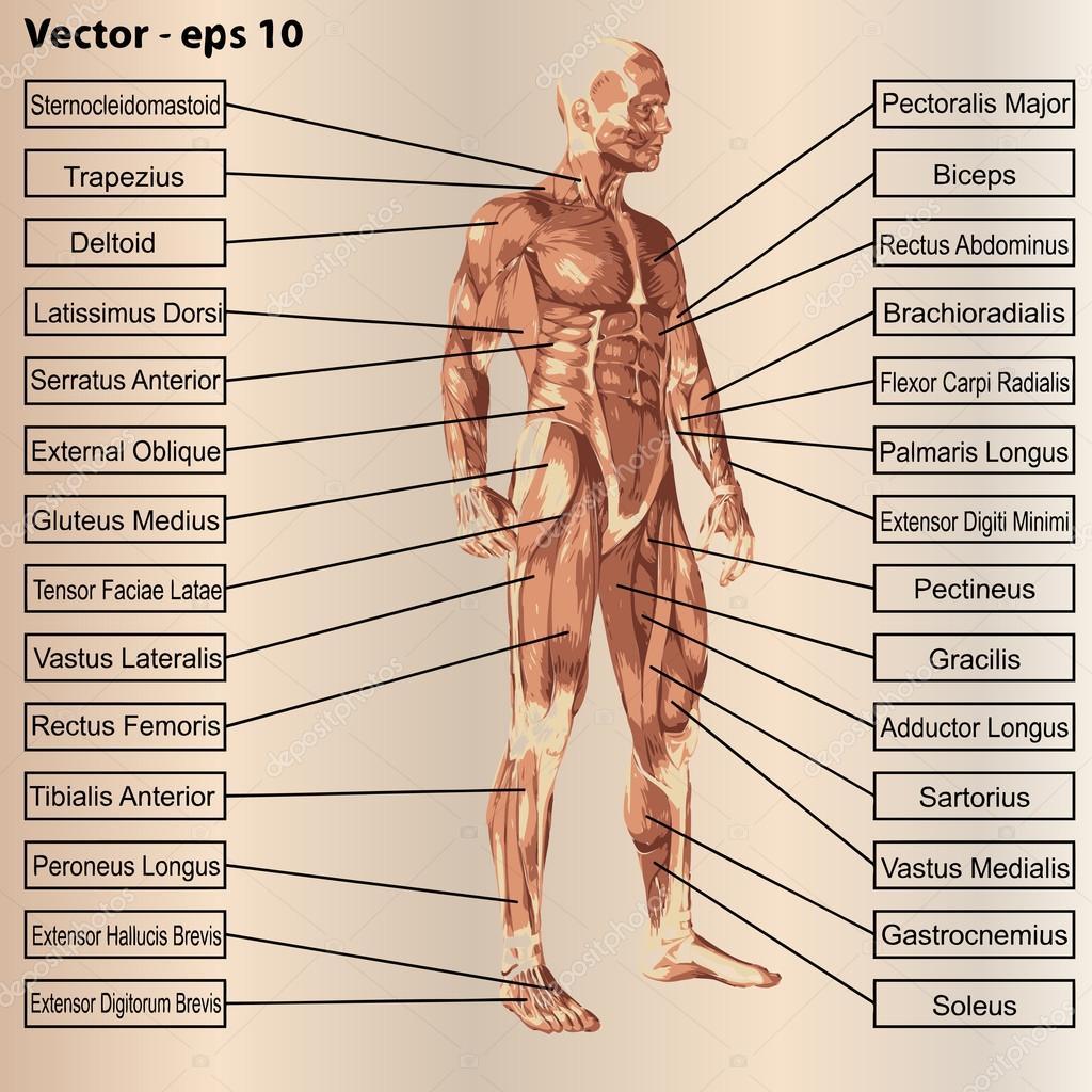 Anatomía masculina con músculos y texto — Vector de stock © design36 ...