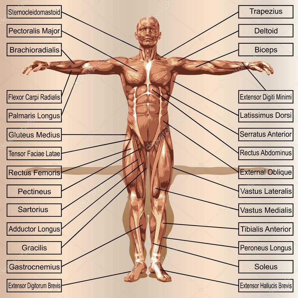 Conceito ou conceitual masculina ou humana anatomia 3d, um homem com ...