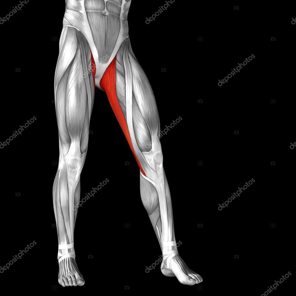 Anatomía de las piernas superiores — Fotos de Stock © design36 #88931362