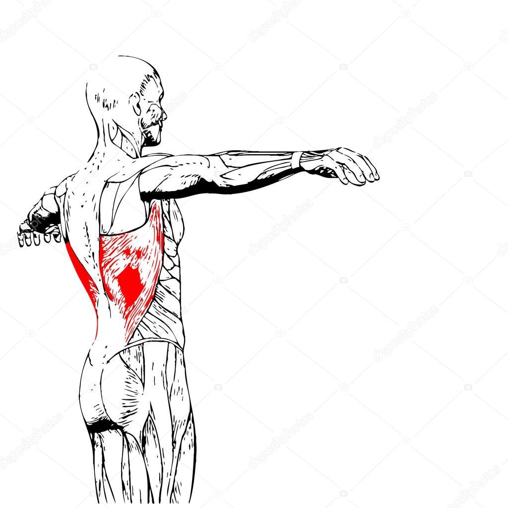 Wieder menschliche Anatomie — Stockfoto © design36 #88931510