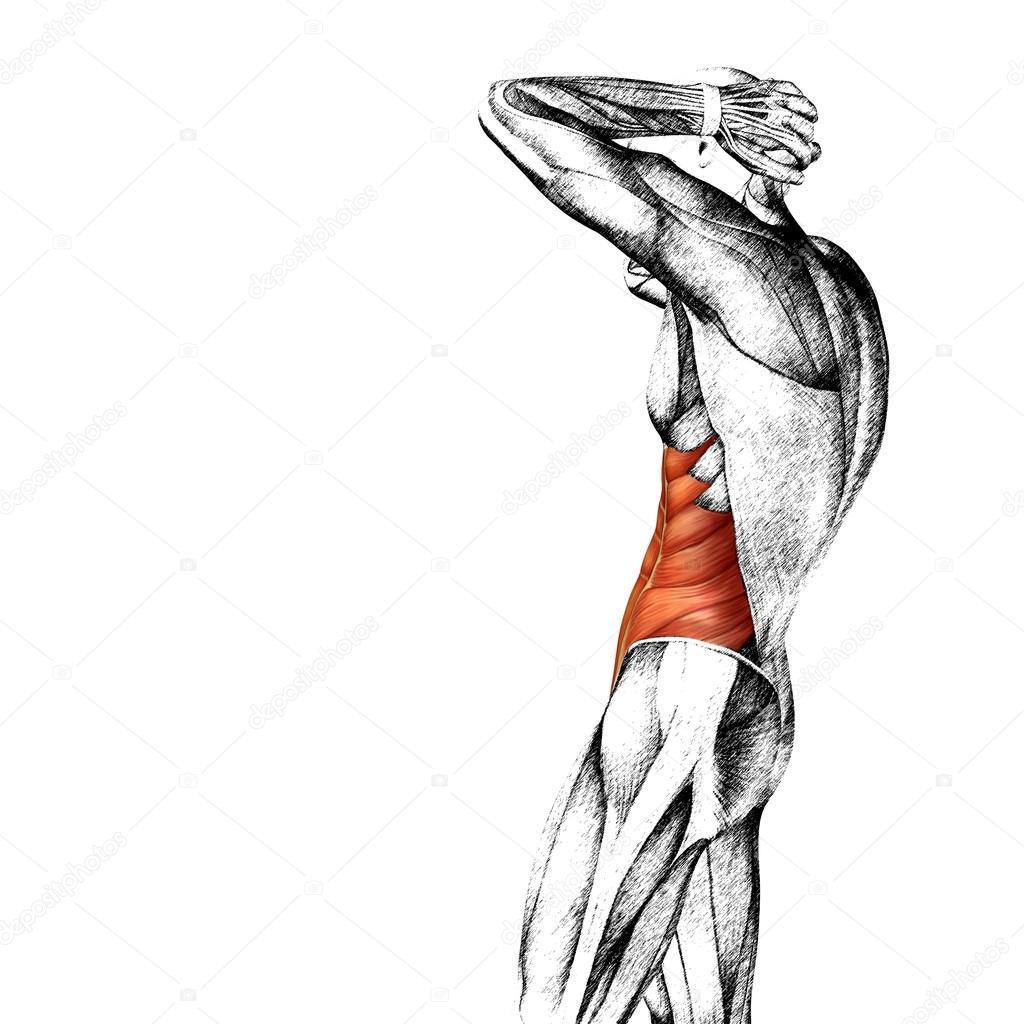 Concepto o conceptual 3d anatomía humana pecho o anatómicos y ...