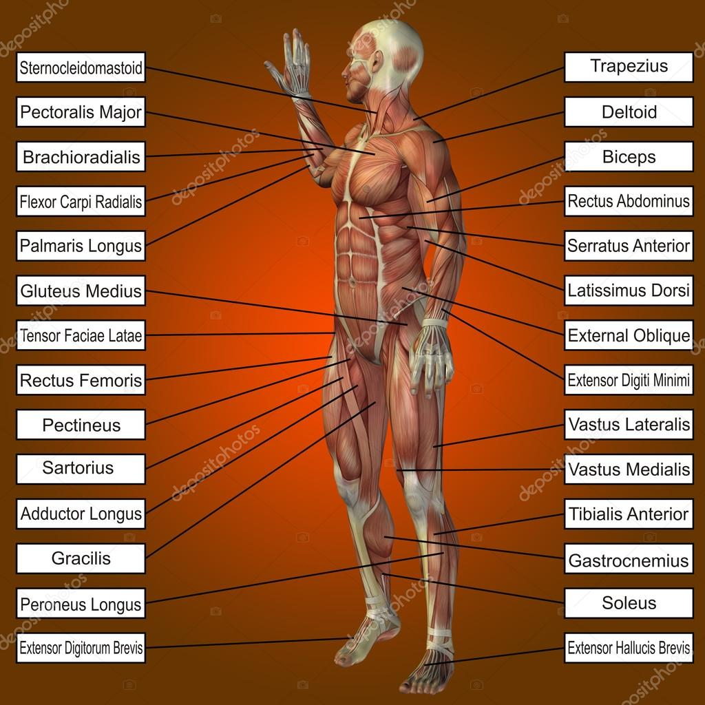Concepto o conceptual 3d hombre o humano Anatomía, un hombre con ...