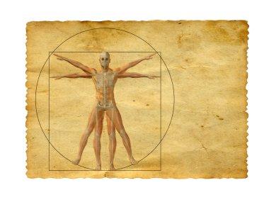 vitruvian human body drawing
