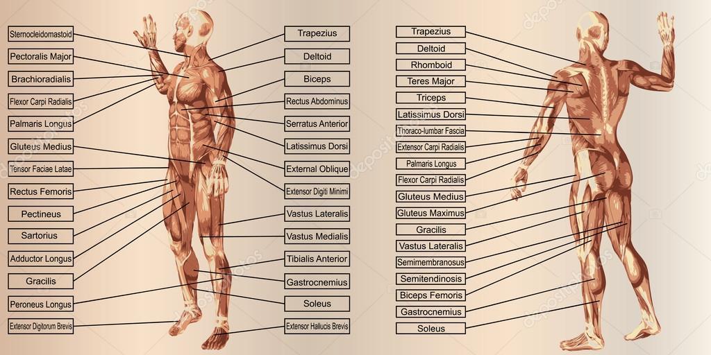 Mensch-Anatomie und Muskeln — Stockfoto © design36 #94586066